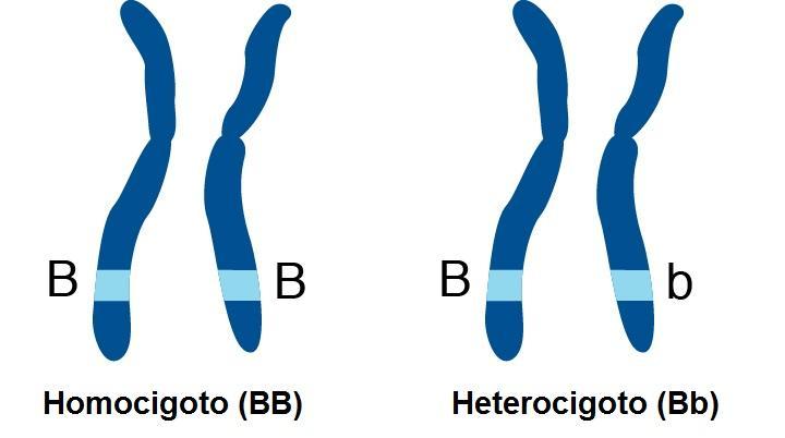 Heterozigoto: dominância completa, incompleta, codominância 1