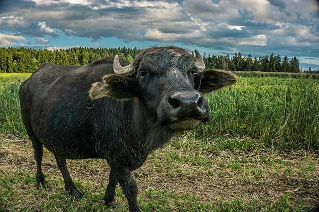 Bull fel: composição, propriedades, efeitos colaterais 1