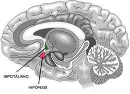 Hipotálamo: Funções, Anatomia e Doenças 1