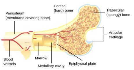 Osso esponjoso: características, funções e histologia 1