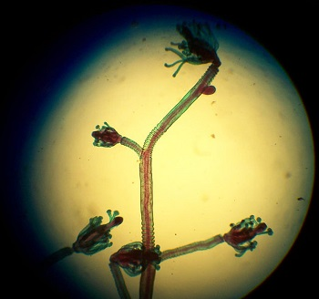Hidrozoários: características, habitat, reprodução, alimento 2