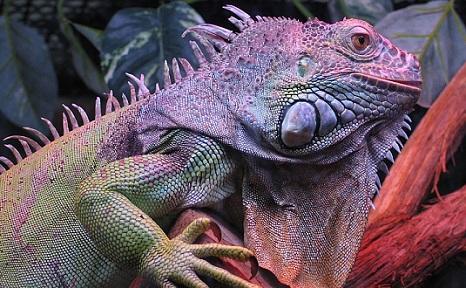 Iguana: características, espécies, habitat, reprodução 2