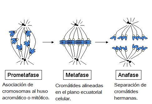 Mitose: fases e suas características, funções e organismos 4