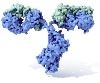 Imunoglobulina D: estrutura, função e valores normais 1