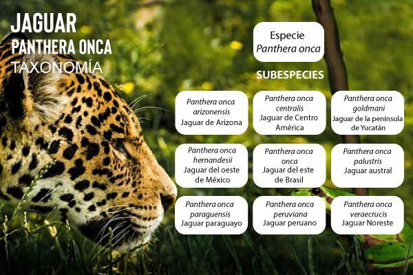 Jaguar: evolução, características, habitat, reprodução 2