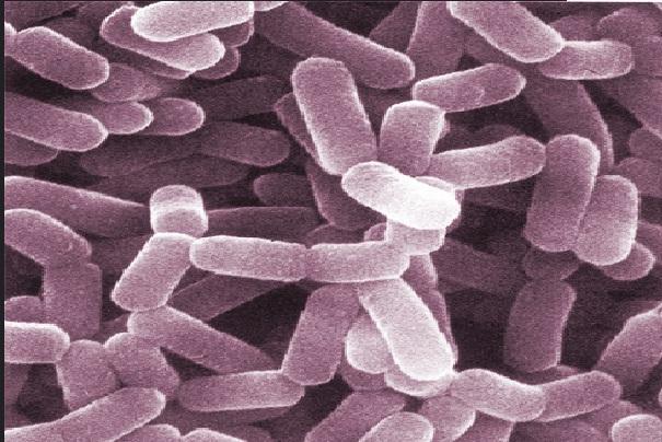 Lactobacillus casei: características, morfologia, benefícios 1