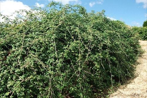 Amora-preta: características, habitat, propriedades e cultivo 4