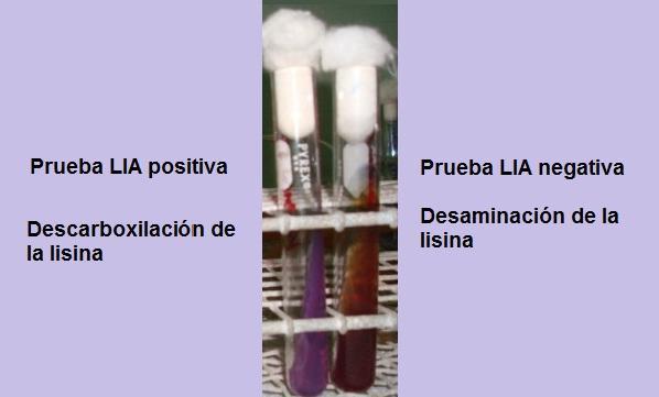 Agar LIA (Lysine Iron): fundação, preparação e usos 1