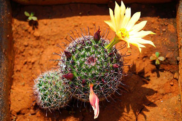 Mammillaria: características, habitat, cultivo, usos e espécies 6