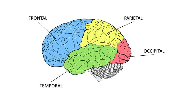 Lobo parietal: anatomia e funções (com imagens) 3