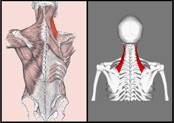 Músculo elevador da escápula: características, funções, síndromes 1