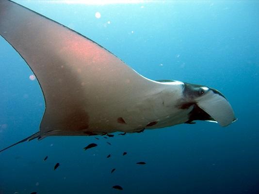 Mantarraya: características, habitat, alimentação, reprodução 1