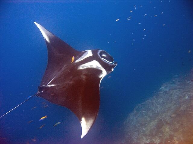 Mantarraya: características, habitat, alimentação, reprodução 5