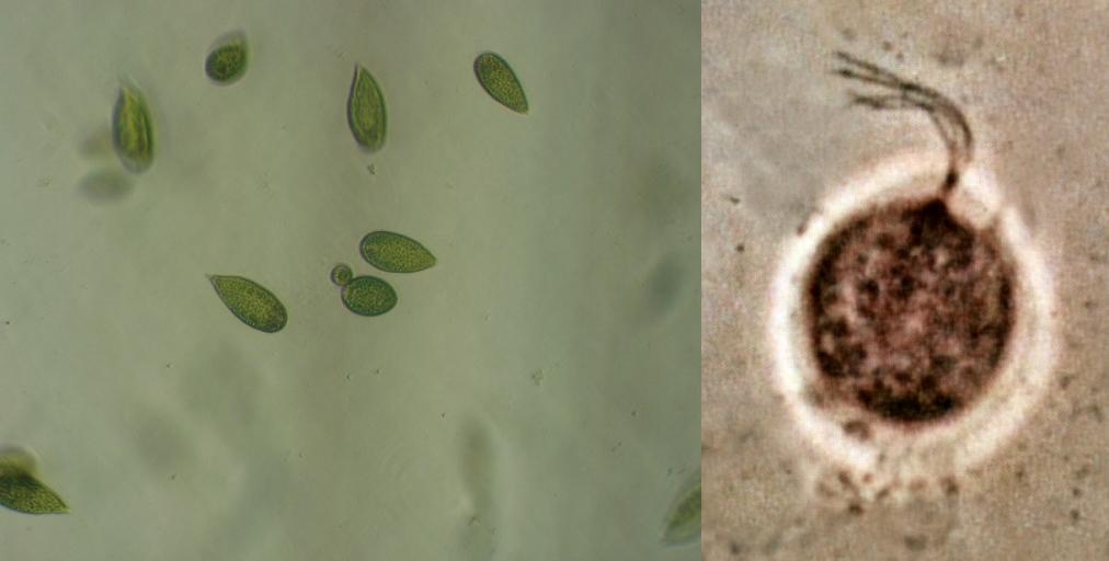 Mastigophora (flagelado): características, morfologia, nutrição 1