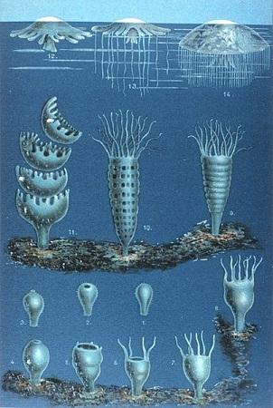 Água-viva: características, morfologia, habitat, reprodução 6
