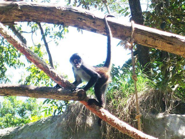 Macaco-aranha: características, habitat, reprodução, alimentação 3