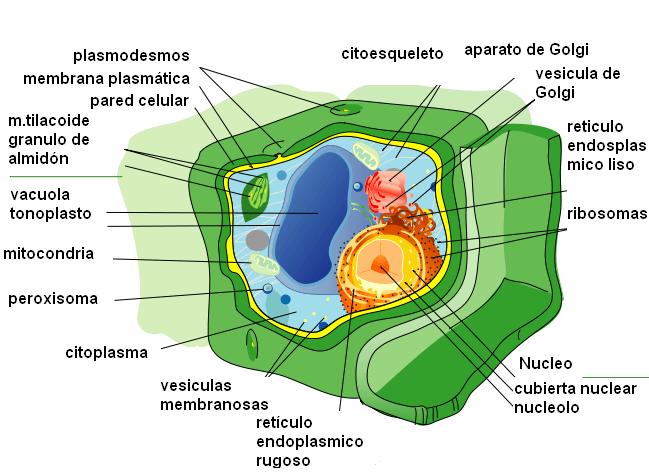 Organelas celulares em células animais e vegetais: características, funções 11