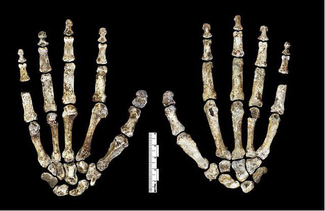 Homo Naledi: descobertas, características, crânio 3