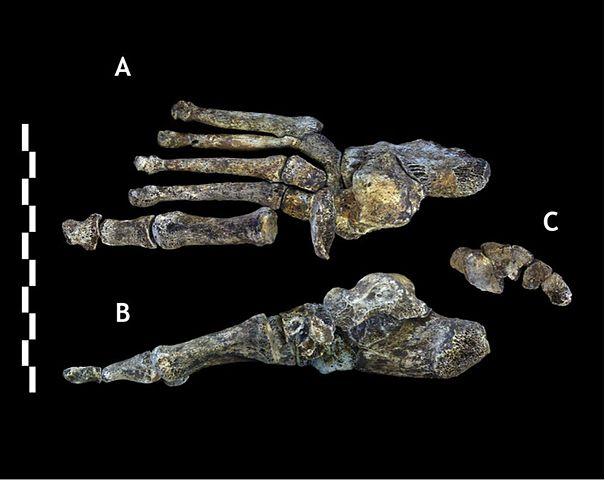 Homo Naledi: descobertas, características, crânio 4