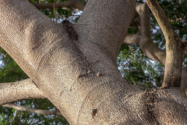 Huanacaxtle: características, taxonomia, habitat, usos 5