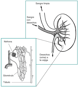 Nefron: características, partes, funções, tipos e histologia 3