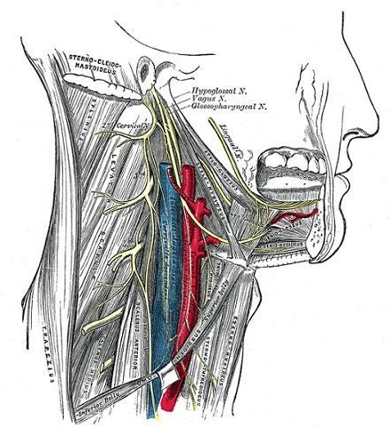 Nervos cranianos: origem real e aparente, funções, anatomia 12