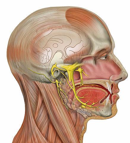 Nervos cranianos: origem real e aparente, funções, anatomia 5
