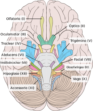 Sistema nervoso periférico: partes e funções 6