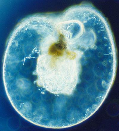 Noctilucas: características, habitat, alimentação, reprodução 1