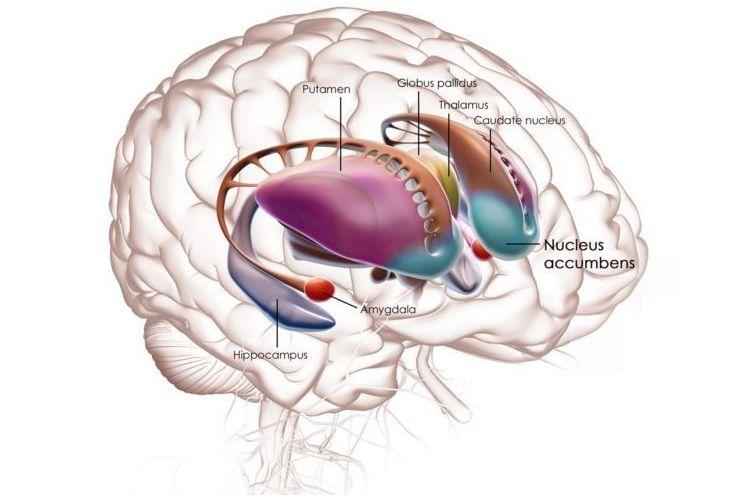 Balão pálido: características, função, anatomia 3