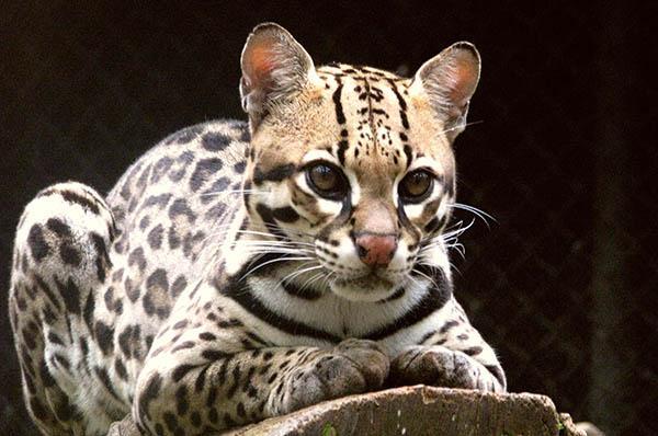Jaguatirica: características, perigo de extinção, alimentos 1
