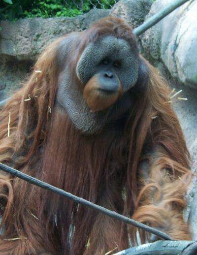 Orangotango: características, habitat, comida e comportamento 2