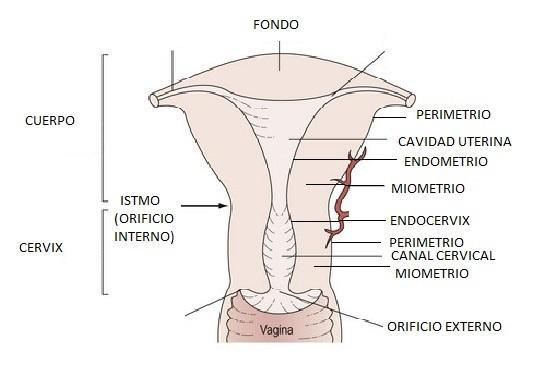 Partes do útero e suas características 1