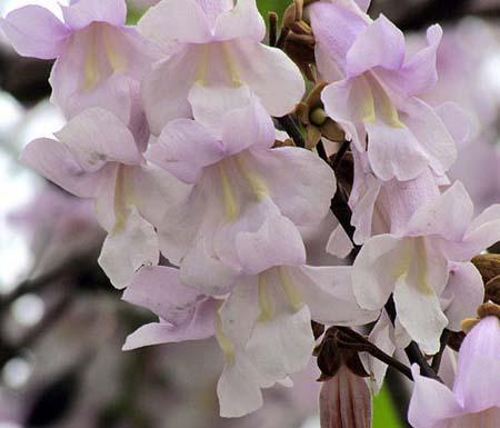 Árvore Kiri: características, habitat, propriedades, crescimento 3