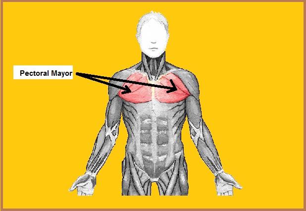 Músculo peitoral maior: origem, inserção, funções, síndromes 1