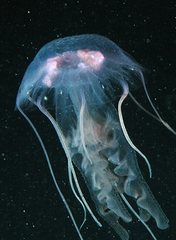 Pelagia noctiluca: características, habitat, reprodução 1