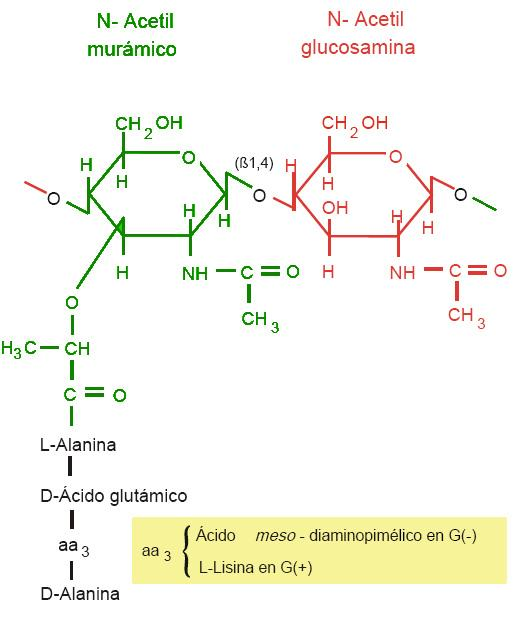 Peptidoglicano: Funções, Estrutura e Síntese 1