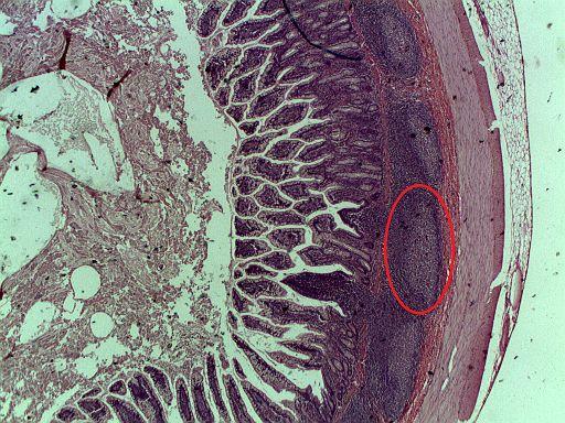 Placas de Peyer: características, funções, histologia 1