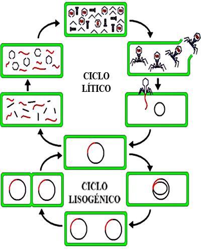 Qual é o ciclo lisogênico? 3
