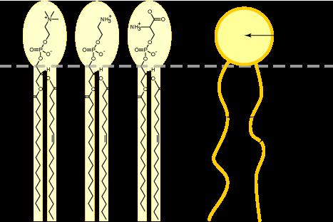 Fosfatidilserina: estrutura, síntese, funções, localização 1