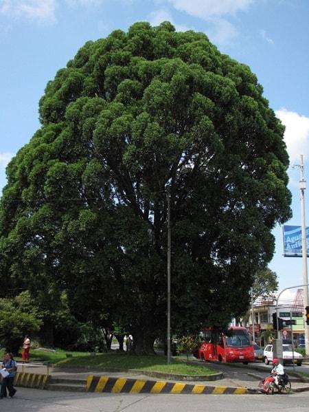 Pinheiro colombiano: características, habitat, reprodução e usos 1