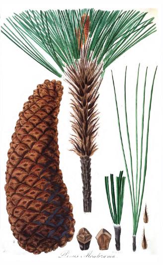 Pinus montezumae: características, habitat, taxonomia, usos 4