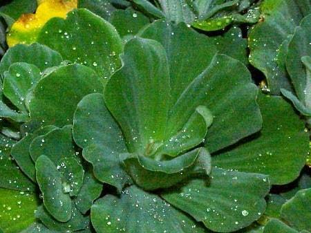 Plantas aquáticas: características, classificação e espécies 5
