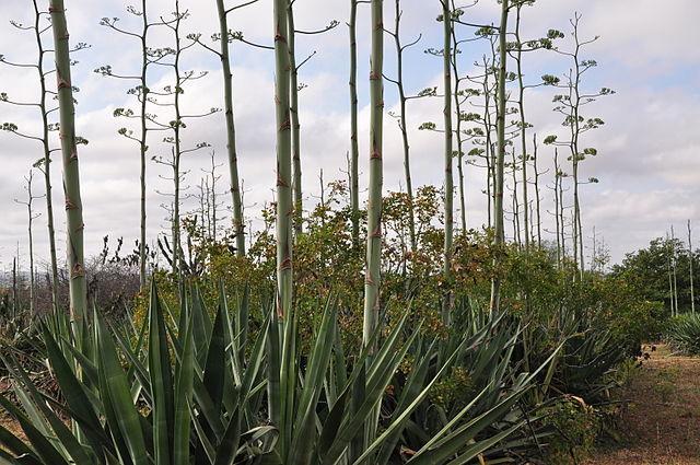 Agave americano: características, habitat, usos, cultivo 6