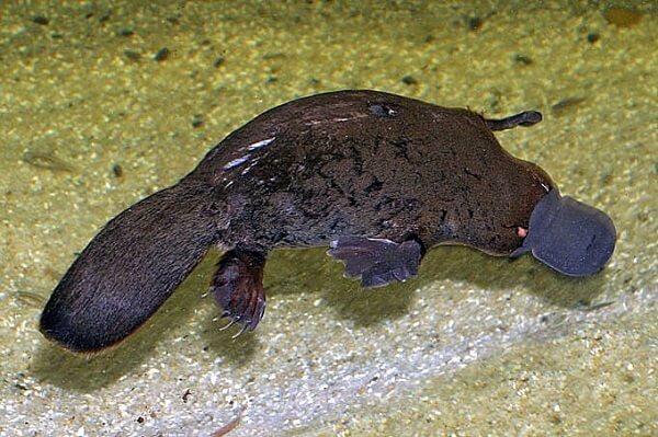 Ornitorrinco: evolução, características, habitat, reprodução 1