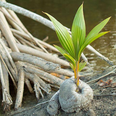 Cocos nucifera: características, habitat, usos, cuidados 5