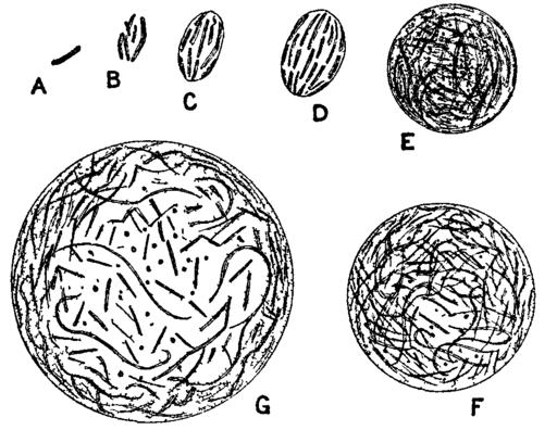 Proteus vulgaris: características, morfologia, contágio, sintomas 1