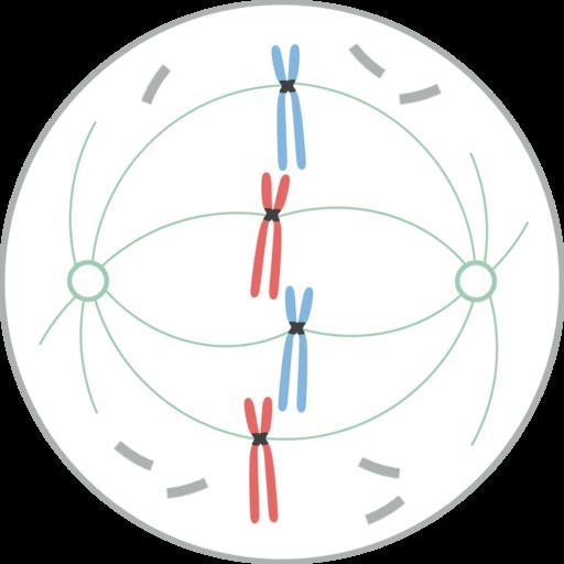 Divisão celular: tipos, processos e importância 4