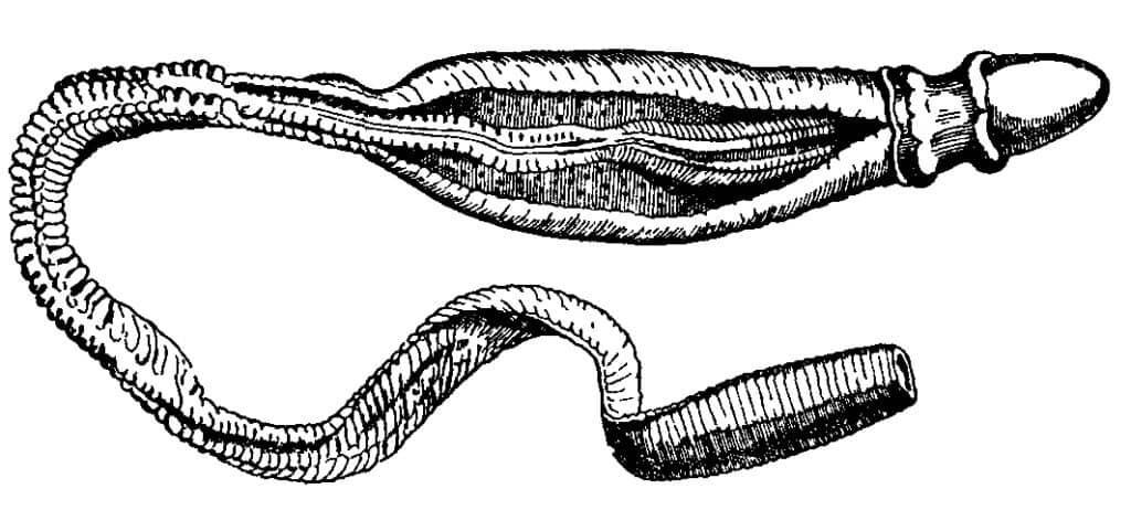 Hemicordados: características, reprodução, alimentação 1
