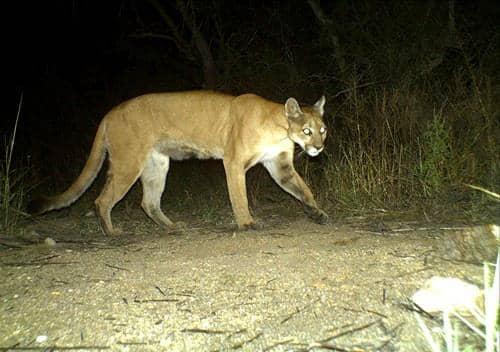 Puma concolor: características, perigo de extinção, habitat 2
